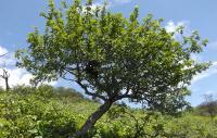 Palo santo arbre